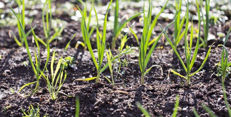 Зеленый чеснок в саде стоковые фото