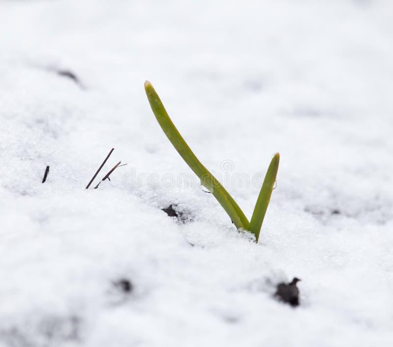 Зеленый чеснок в снеге в зиме стоковое изображение