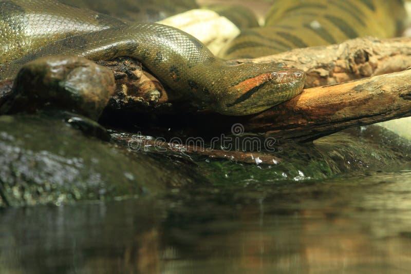 Зеленый anaconda стоковые фото