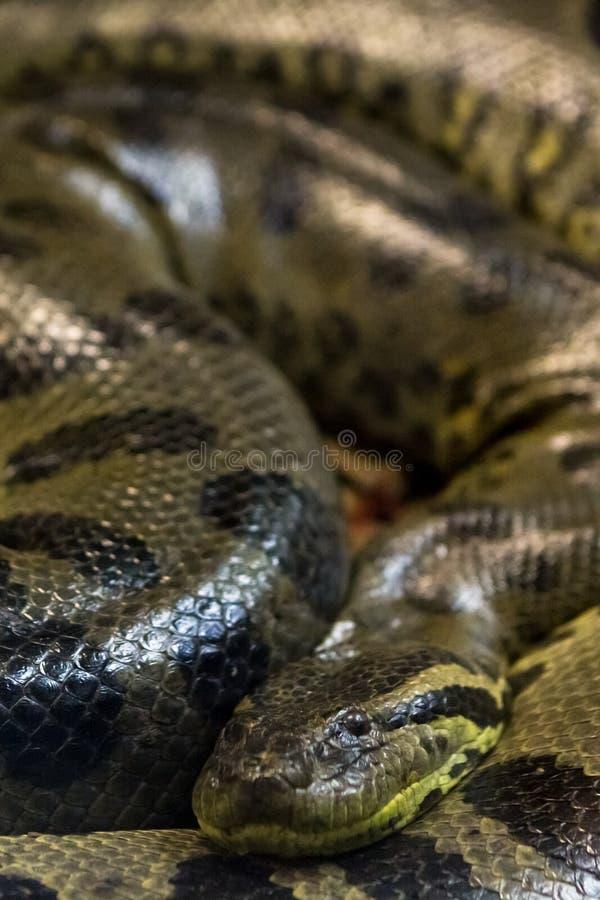 Зеленый anaconda, murinus Eunectes, змейка sucuri огромно стоковая фотография