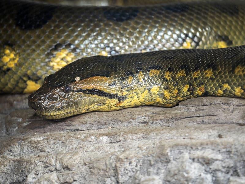 Зеленый anaconda, murinus Eunectes, самая мощная змейка стоковая фотография rf