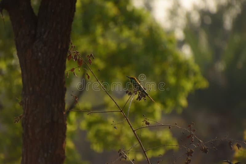 Зеленый Bee-eater стоковое изображение