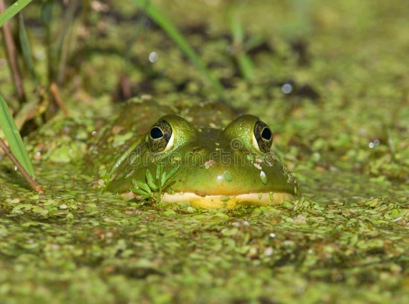 Зеленый Bullfrog стоковое фото rf