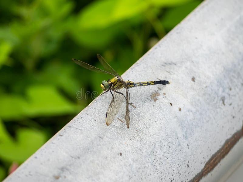 Зеленый dragonfly около рисовых полей стоковые изображения rf