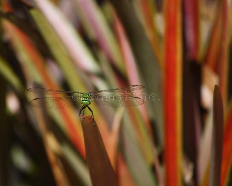 Зеленый Dragonfly стоя на Bromeliad стоковые изображения rf