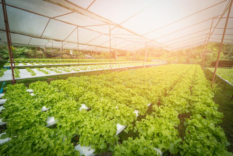 Зеленый hydroponic органический овощ салата в ферме, Таиланде Sele стоковые фотографии rf