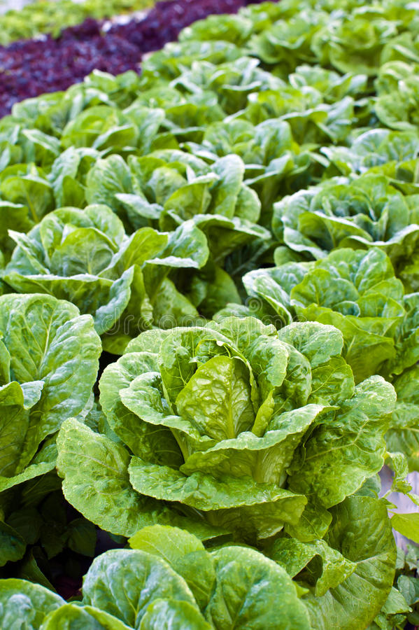зеленый kale стоковая фотография rf