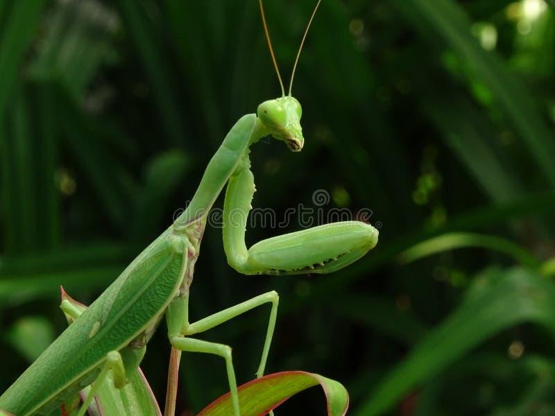 Зеленый mantis, стоя на лист стоковое фото