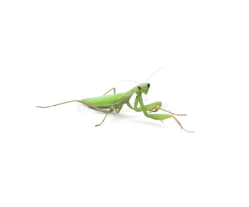 Зеленый mantis стоковые фото