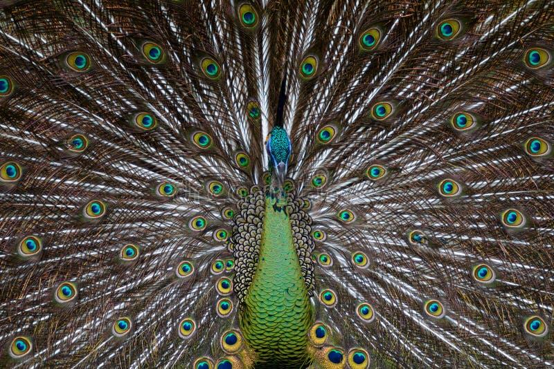 зеленый peafowl 01 стоковая фотография rf