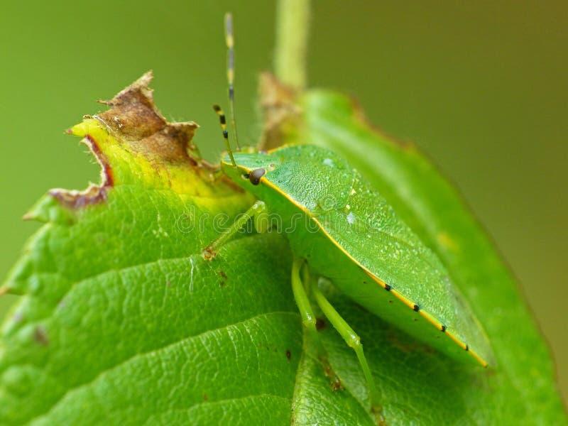 Зеленый Stinkbug на лист стоковые фотографии rf