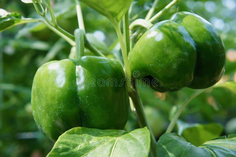 2 зеленых болгарского перца растя в саде стоковая фотография