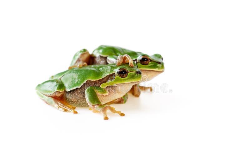 2 зеленых милых древесной лягушки сидя на белизне стоковые фото