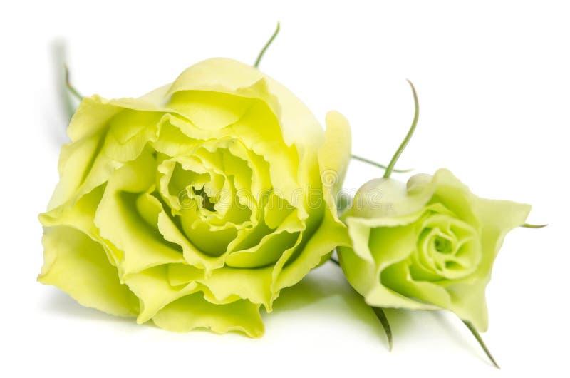 2 зеленых розы на белой предпосылке стоковое фото