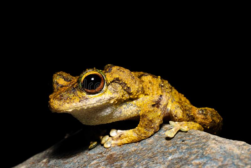 Зелен-наблюданное serrata Litoria древесной лягушки стоковая фотография rf