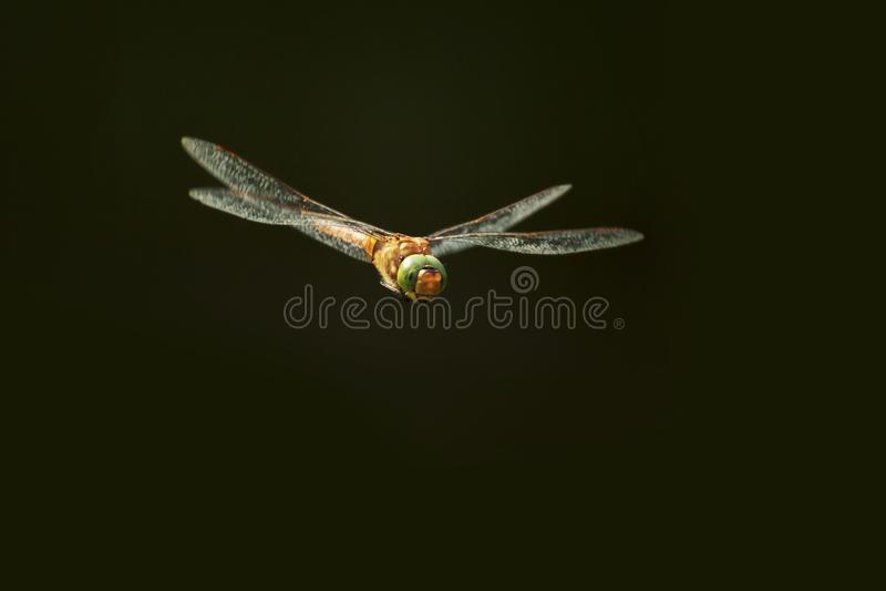 Зелен-наблюданные isoceles Aeshna лоточницы в полете на темную предпосылку стоковое изображение