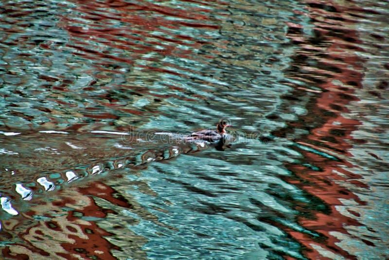 Зелен-подогнали утка Teal возвращала к Реке Чикаго после зимы стоковые фото
