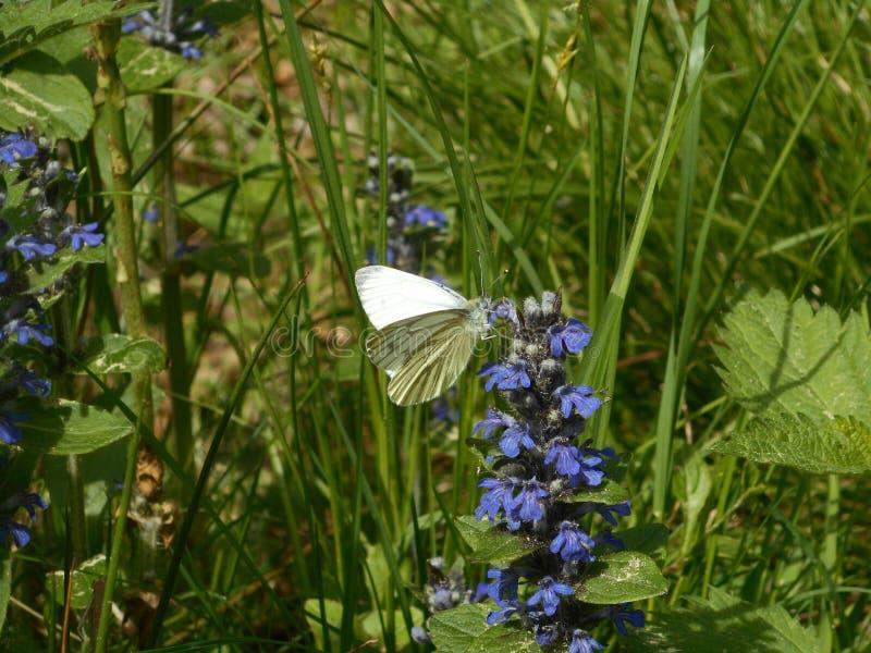 Зелен-veined белая бабочка в цветке стекляруса цветения луга голубом стоковые изображения rf