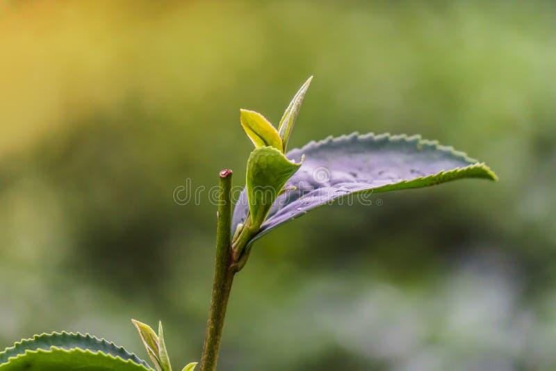 Зелёные чайные листья закрываются зелеными задним числом стоковое фото rf