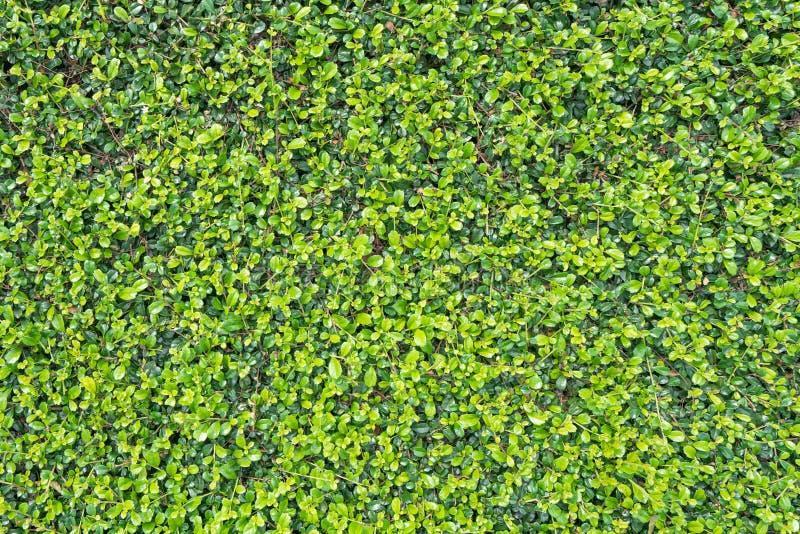Зелёный лист для фона сада и текстуры стоковые изображения