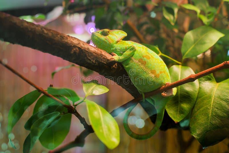 Зелёный хамелеон в экзотариуме стоковые фото