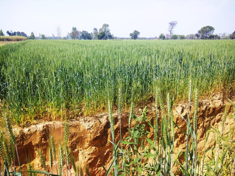 Земледелие урожая пшеницы индийское стоковые изображения