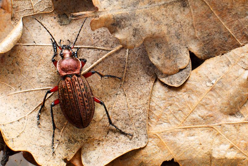 Земной жук на листьях дуба last year сухих стоковые фотографии rf