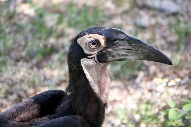 земной hornbill южный стоковые изображения