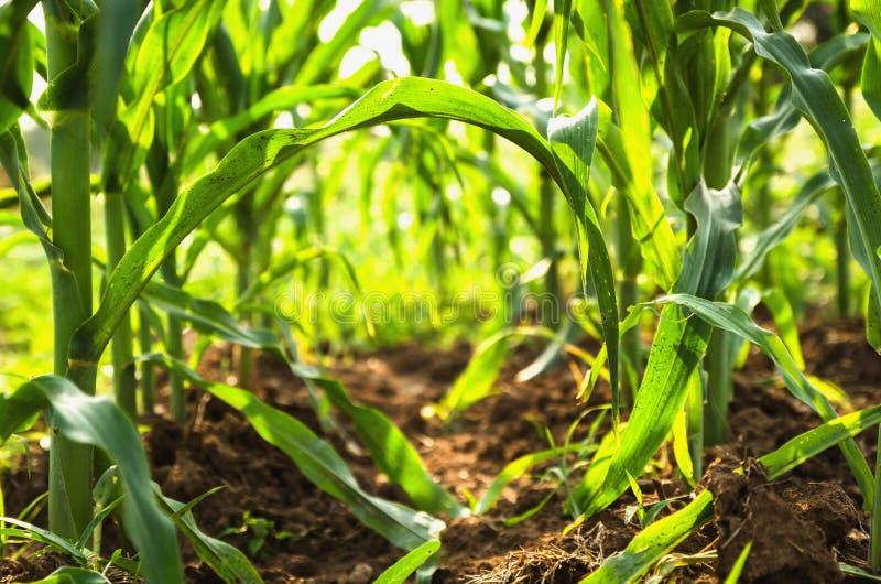 Земледелие мозоли green nature Сельское поле на сельскохозяйственном угодье в summ стоковые изображения rf