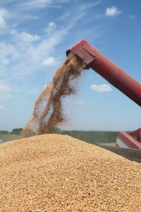 Земледелие, сбор пшеницы стоковые фото