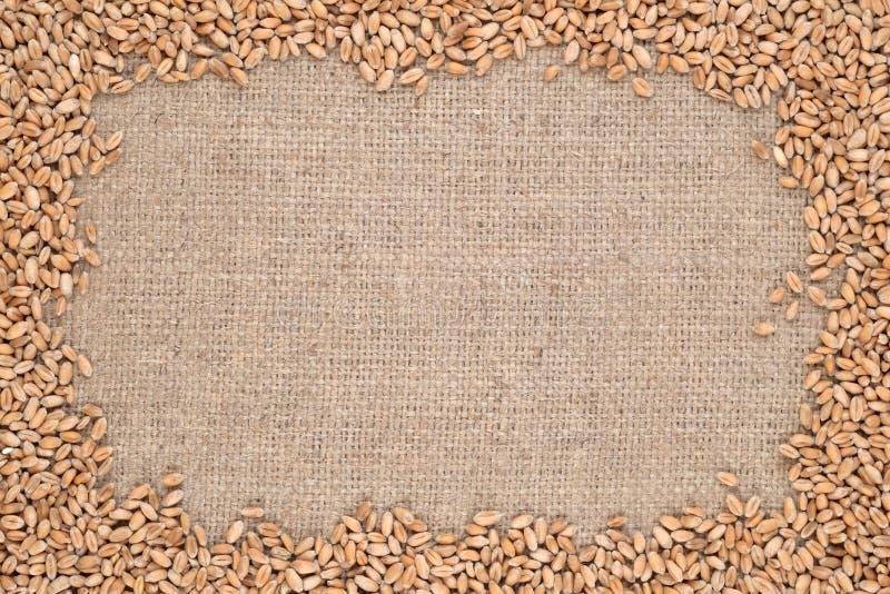 Зерна пшеницы в предпосылке увольнения стоковая фотография rf