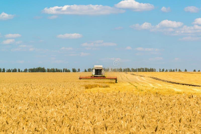 Зернокомбайн работает на большом поле зрелой пшеницы Россия стоковые изображения