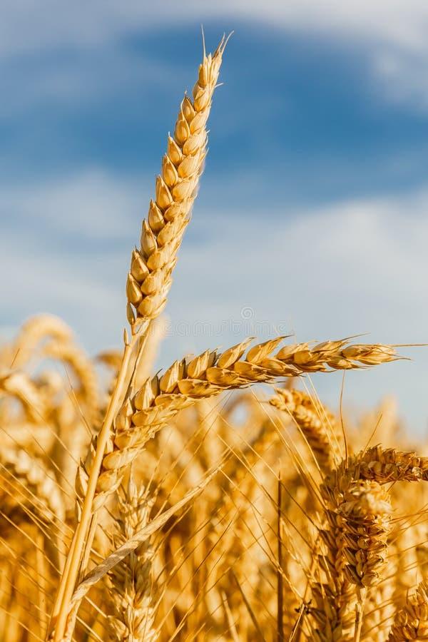 Зерно в поле фермы стоковые фотографии rf