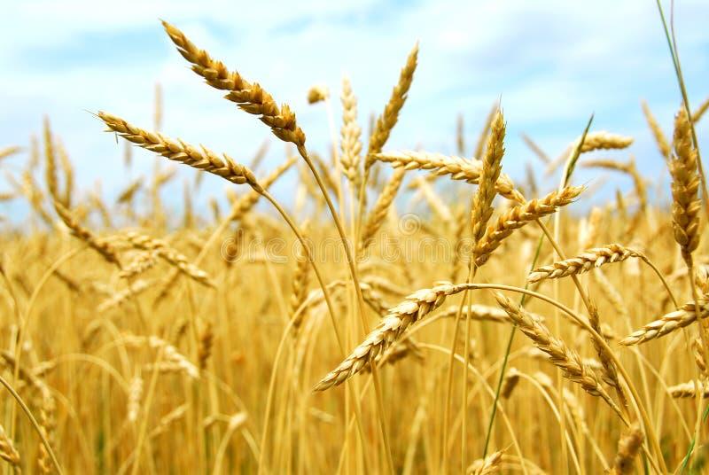 зерно поля стоковые фото