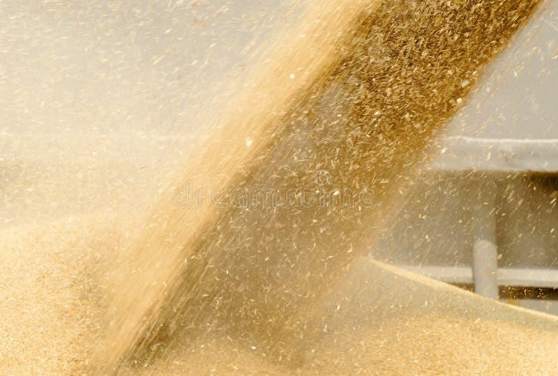 Зерно пшеницы стоковое фото