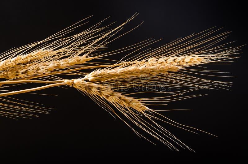 Зерно ячменя на черной предпосылке стоковое изображение rf