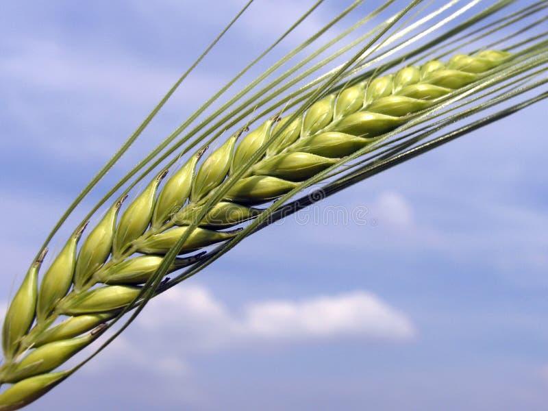 зерно стоковая фотография rf