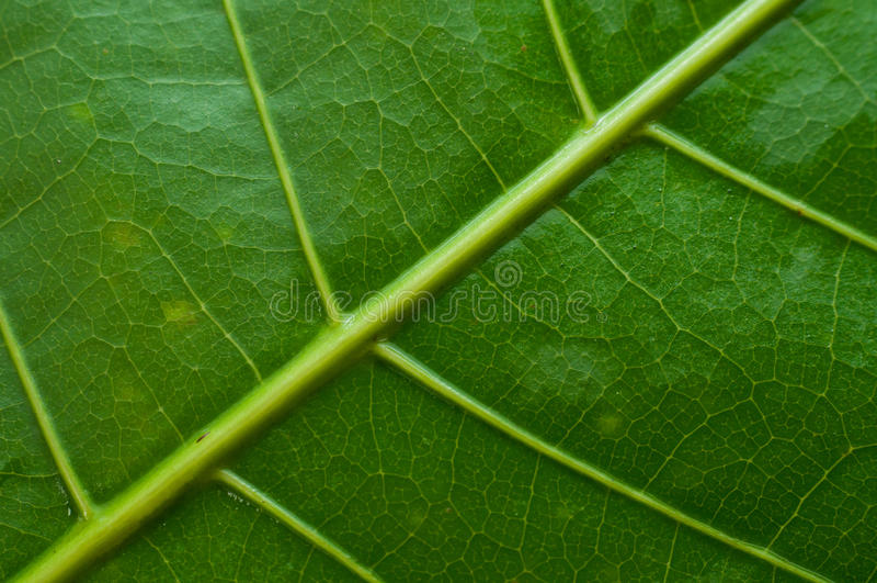 Зеленая вена лист стоковые фото