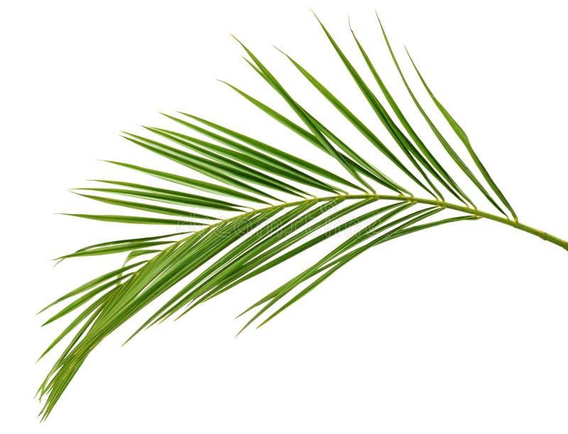 Зеленая ветвь ладони стоковые изображения rf