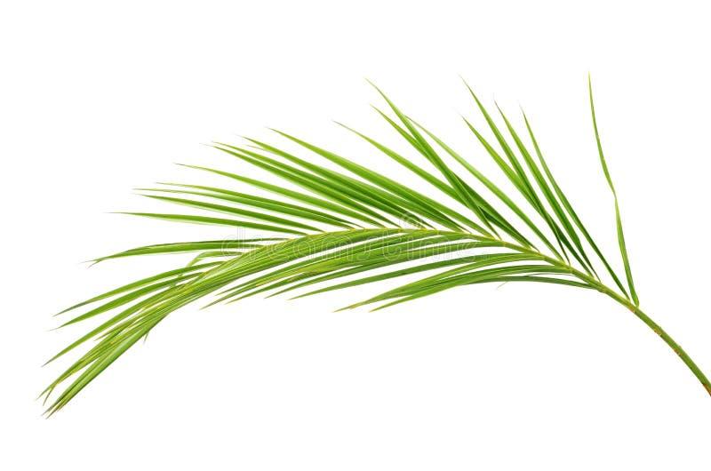 Зеленая ветвь ладони стоковые фотографии rf