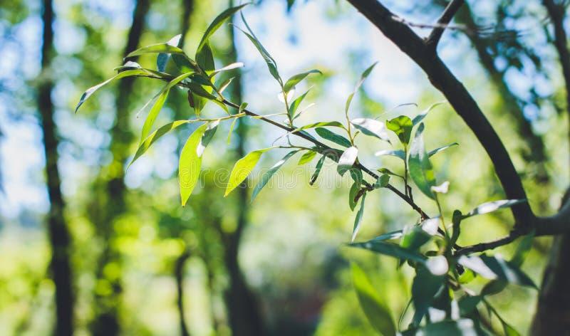 Зеленая ветвь дерева в парке Узкая и острая зеленая листва стоковое изображение