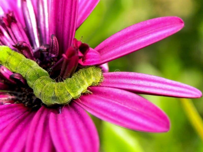 Зеленая гусеница 1 стоковое изображение rf