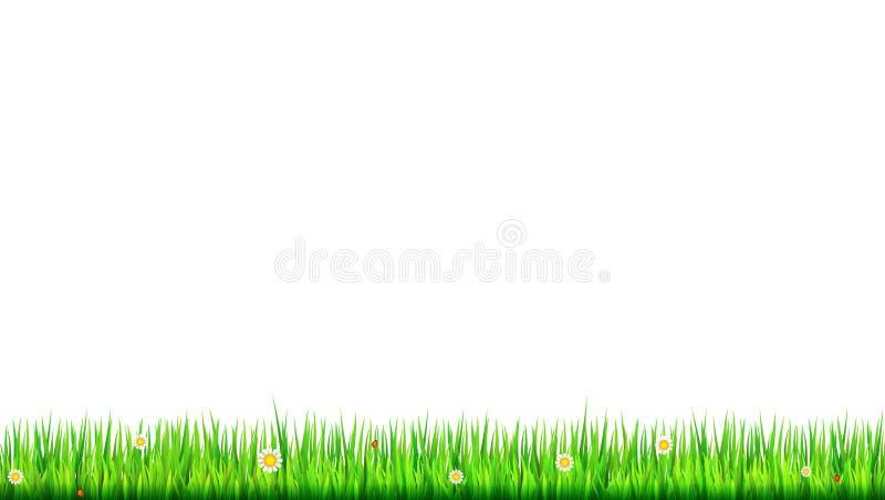 Зеленая, естественная граница травы с белыми маргаритками, цветок стоцвета и малый красный ladybug на белой предпосылке Шаблон дл иллюстрация вектора