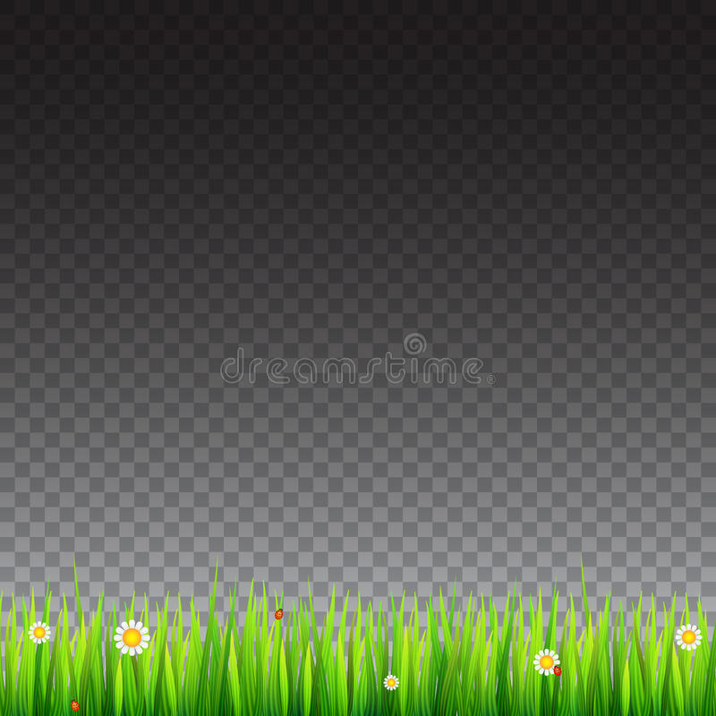 Зеленая, естественная граница травы с белыми маргаритками, цветок стоцвета и малый красный ladybug на прозрачной предпосылке иллюстрация штока