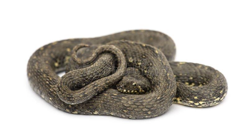Зеленая змейка хлыста, изолированное viridiflavus Hierophis, стоковая фотография