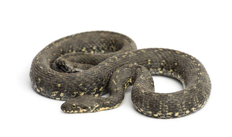 Зеленая змейка хлыста, изолированное viridiflavus Hierophis, стоковая фотография rf