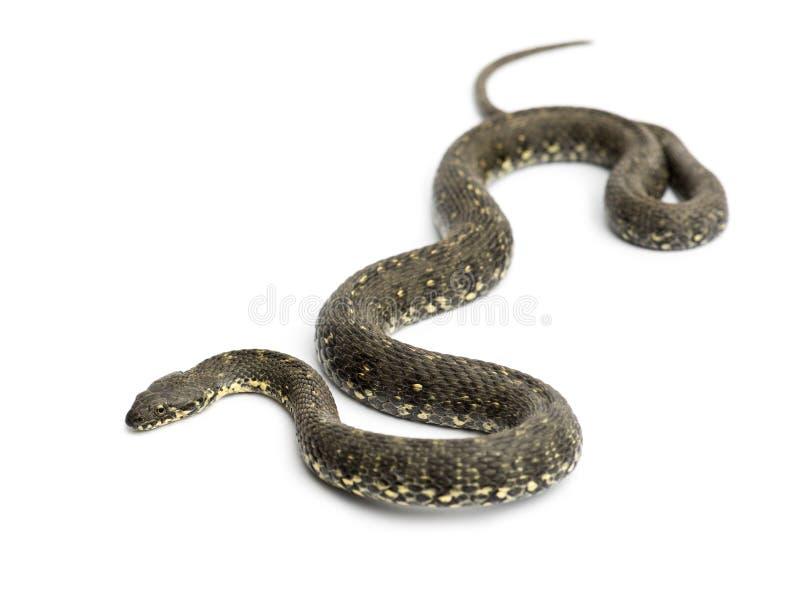 Зеленая змейка хлыста, изолированное viridiflavus Hierophis, стоковые фотографии rf