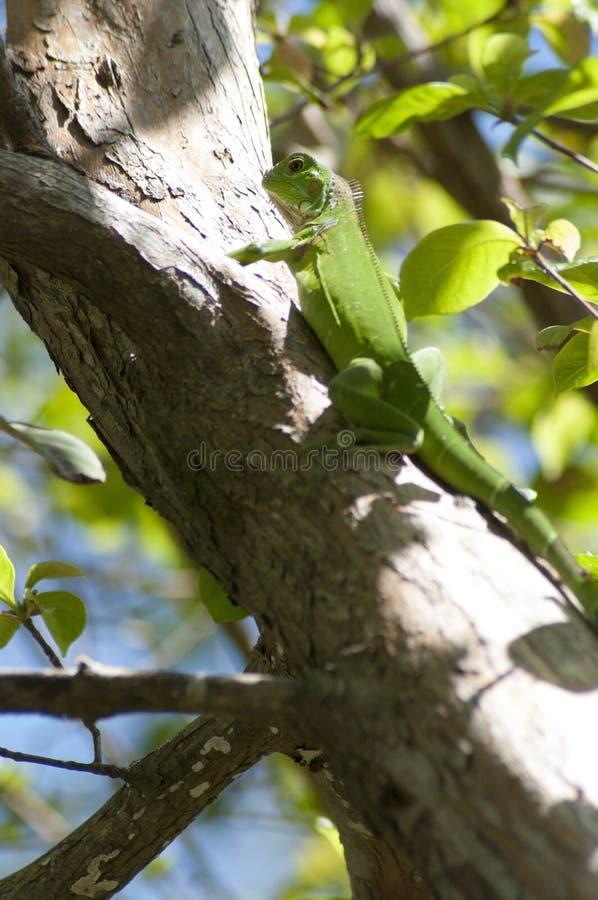 зеленая игуана стоковая фотография