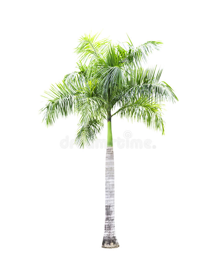 Зеленая изолированная пальма стоковые изображения rf