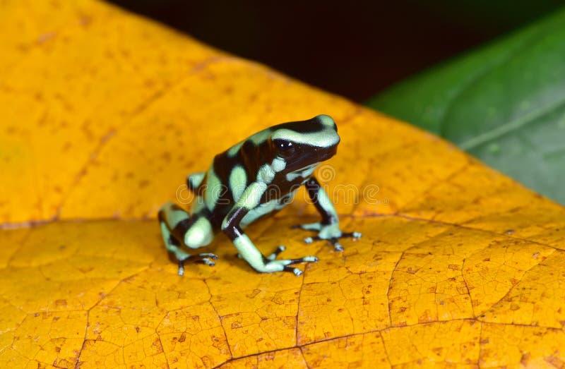 Зеленая и черная лягушка дротика отравы, Коста-Рика стоковое фото rf